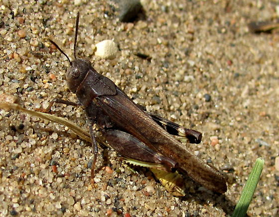 Acrididae - Arphia conspersa - male