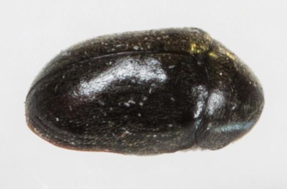 Beetle - Tricorynus dichrous