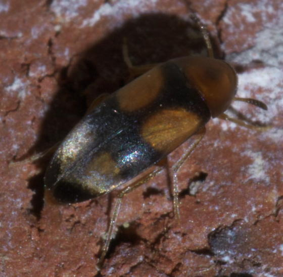 Small, black and orange beetle - Pentaria trifasciata