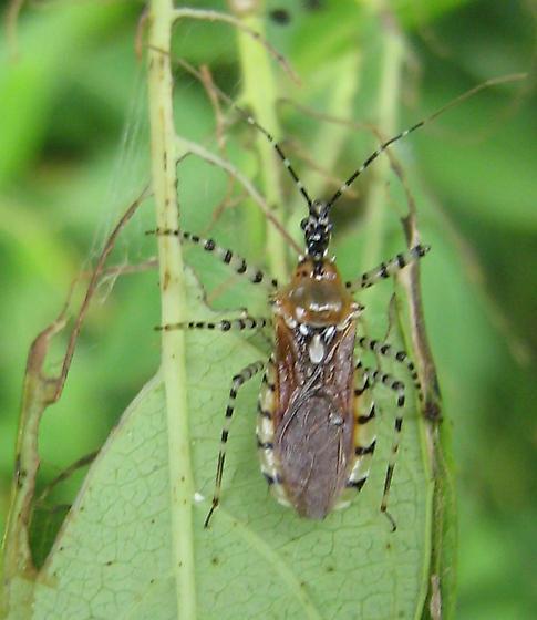 True bug - Pselliopus cinctus
