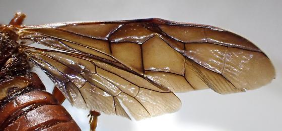 Cimbex rubidus? - Cimbex rubidus