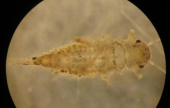 Caenis sp? nymph - Caenis