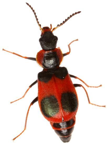 Collops? Possibly C. quadriguttatus? - Collops - female
