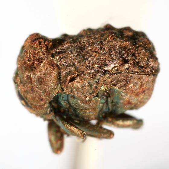 Neochlamisus platani (Brown) - Neochlamisus platani