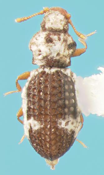 Latridiid - Metophthalmus americanus