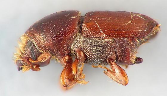 Scolytus  - Scolytus multistriatus