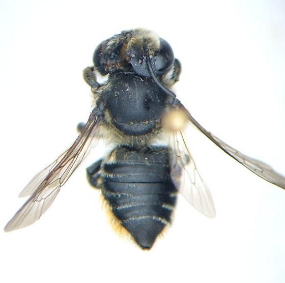 Megachile - Megachile mendica - female