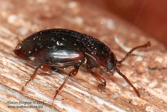 Unknown - Lycoperdina ferruginea