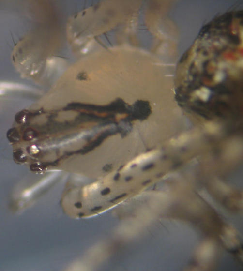 Weird Clear Spider - Mimetus puritanus