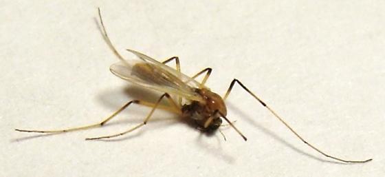 Midge - Microtendipes - female
