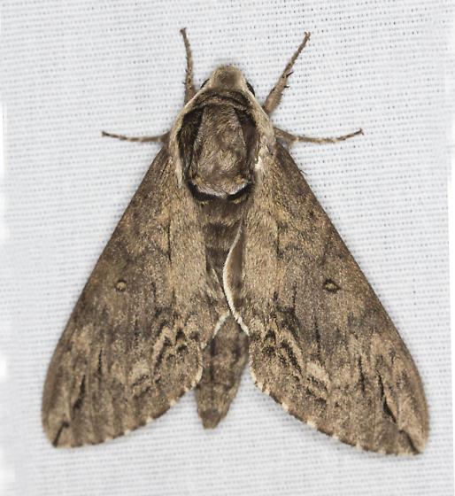 Catalpa Sphinx?  - Ceratomia catalpae