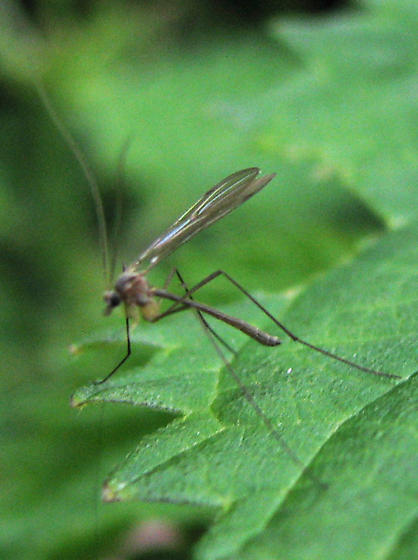 Vashon BioBlitz 2012 - ID for fly with long antennae?