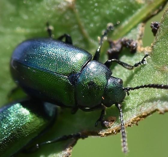 Leaf Beetle - Gastrophysa cyanea