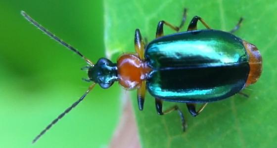 Green Bug - Lebia viridipennis