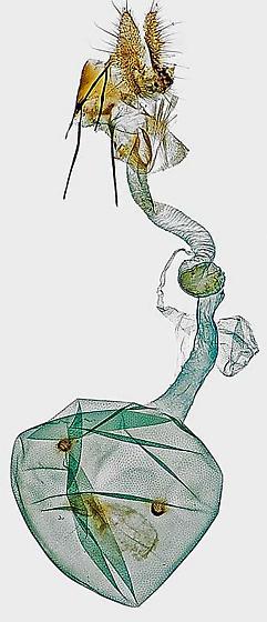 genitalia - Apotomis deceptana - female