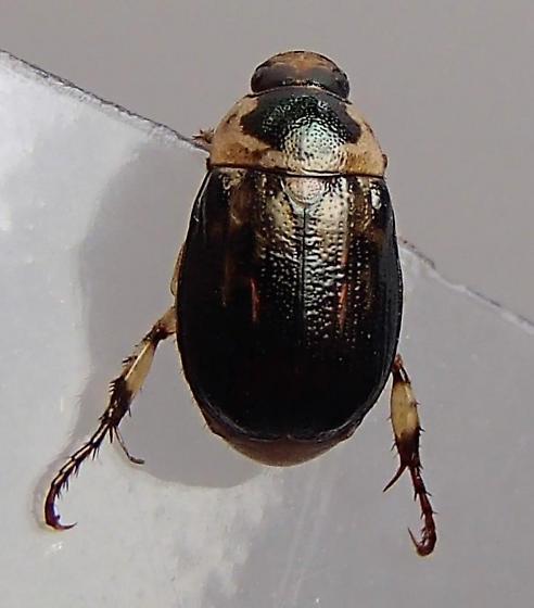 Beetle - Anomala innuba