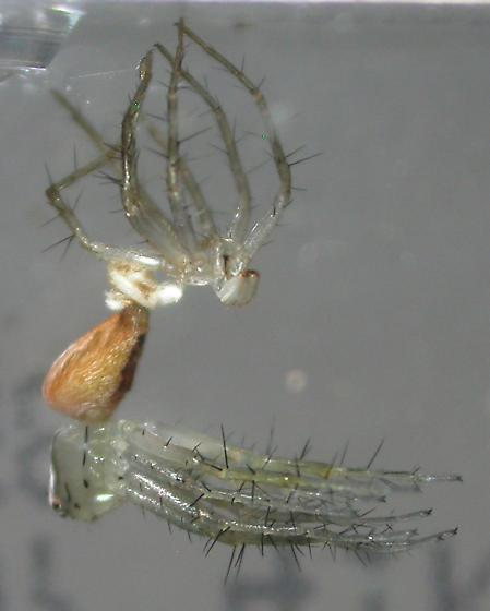 Oxyopes salticus - female