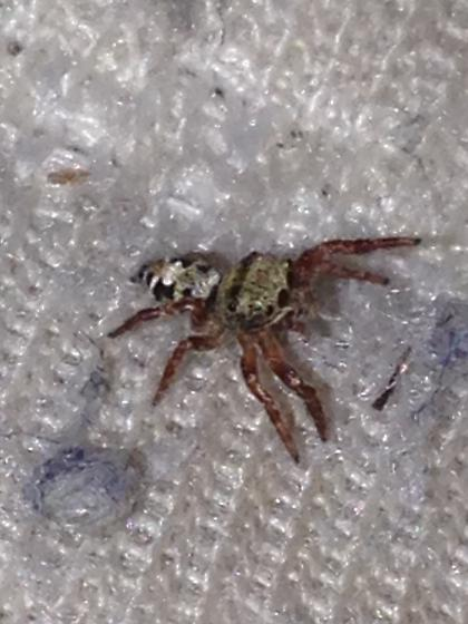 Jumping Spider ID - Phidippus