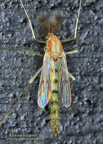 Chironomidae - male