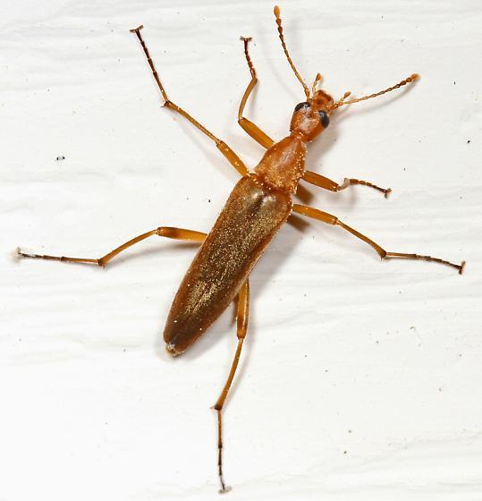 False Longhorn Beetle? - Cephaloon lepturides