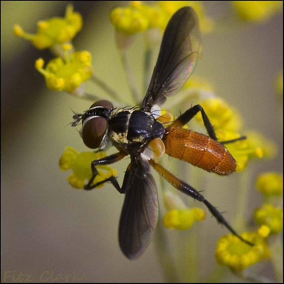 Wasp like fly  - Xanthomelanodes atripennis