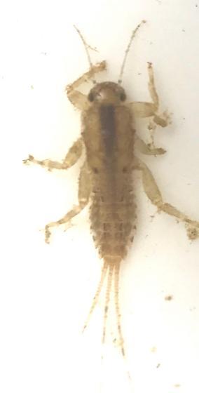 Ephemerellidae Serratella serratoides - Serratella serratoides