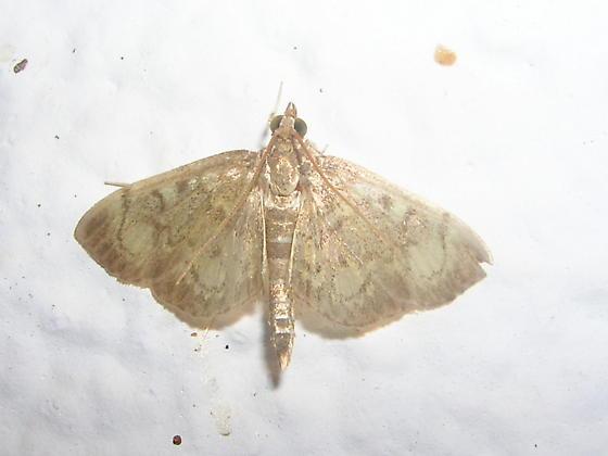 Moth ID Please - Anania plectilis