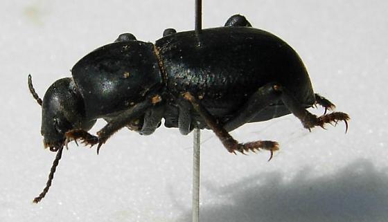 Asbolus laevis