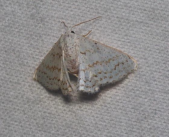Unidentified white moth - Idaea tacturata