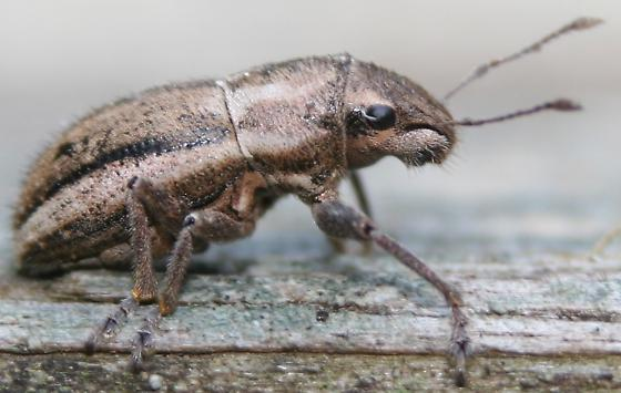White-fringed Weevil - Right Lateral - Naupactus peregrinus - female