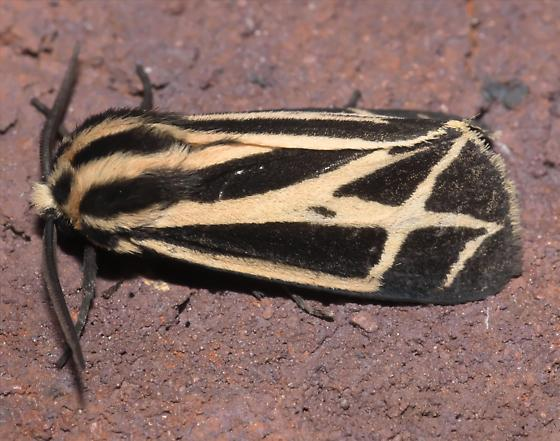 Tiger moth - Apantesis phalerata - male