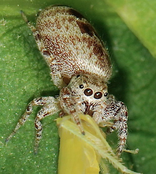 spider with leafhopper prey