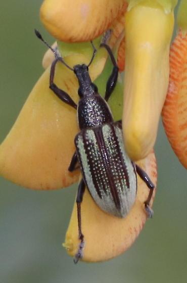 Diaprepes Root Weevil? - Diaprepes abbreviatus