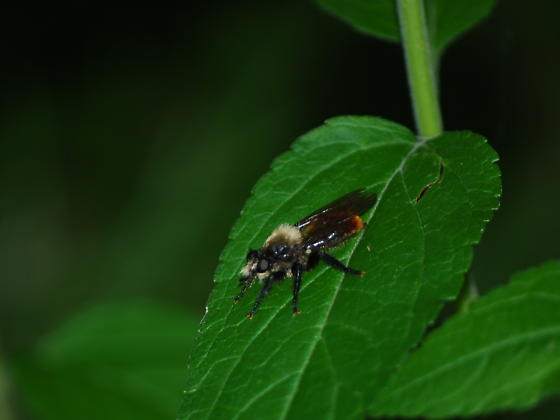 Laphria - Bee-like Robber Flies - Laphria janus