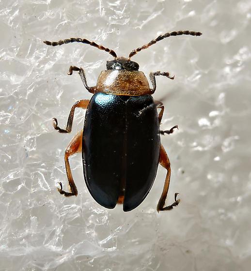Flea Beetle - Disonycha collata