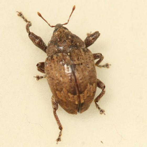 beetle - Pseudomopsis inflata