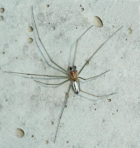 Sierra Dome Spider - Neriene litigiosa - male