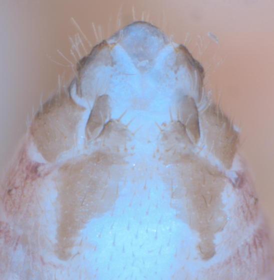 E. vachoni female - Ectopsocus vachoni - female