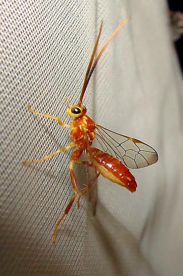 Orange and red wasp - Euceros - female