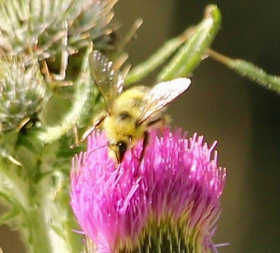 Is this a bumble bee? - Bombus
