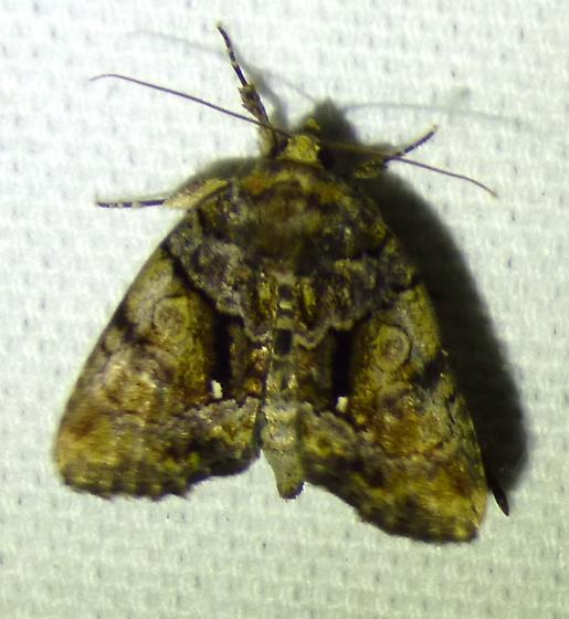 unknown moth - Chytonix palliatricula