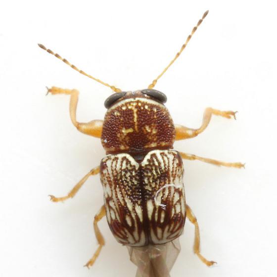 Pachybrachis sp. (EGR 6) - Pachybrachis