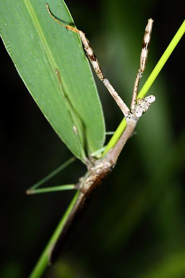 Praying Mantis - Stagmomantis carolina - male