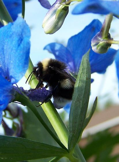 B. moderatus (B. lucorum)  ???? - Bombus cryptarum