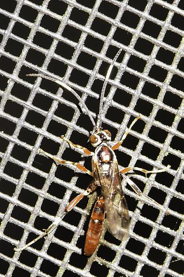 Unknown Wasp - Cratichneumon