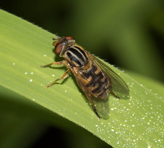 Lejops lineatus - female