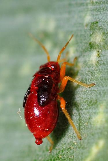 Tiny Mite or Tick? - Halticotoma valida
