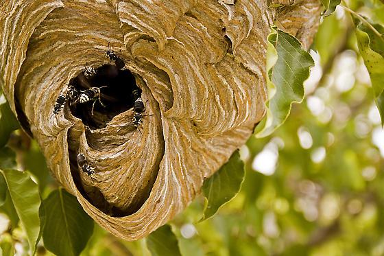 Bee/Wasp Nest - Dolichovespula maculata