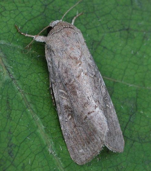 An Unknown Noctuid Moth - Spodoptera frugiperda - female