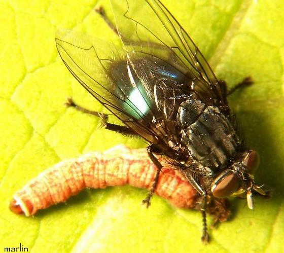 Blow Fly with Caterpillar Prey - Cynomya cadaverina